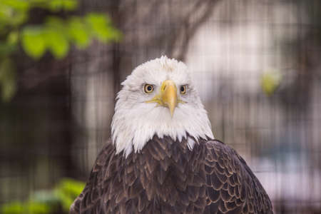 Portrait of a bald eagle Stock Photo - 18064459