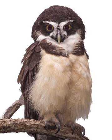 curve claw: Spectacled owl isolated on white