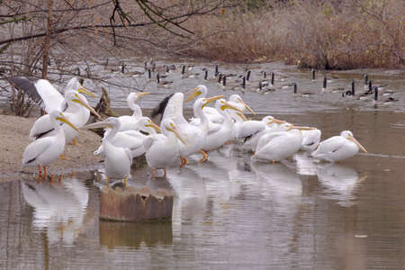 danube delta: Group of Great White Pelicans in water