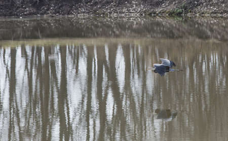 A blue heron spreads its wings wide while flying low to the ground  photo
