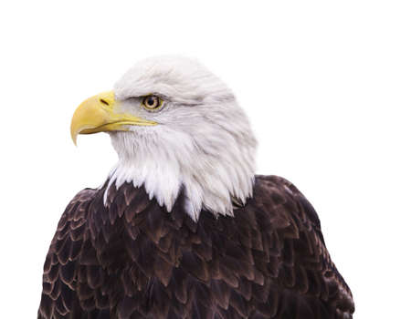 american eagle: Portrait of Bald Eagle isolated on white Stock Photo