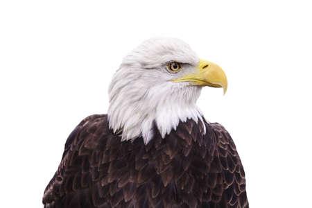 aguila calva: Retrato del águila calva aislada en blanco Foto de archivo