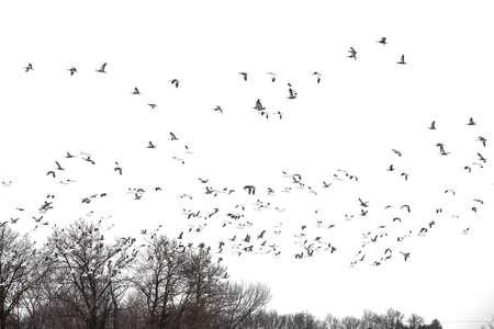 skagit: Spring migratory snow geese