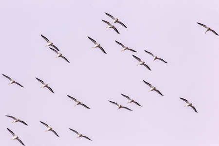 migratory: Snow Geese take off for migratory flight