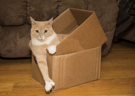 relaxing cute 6 toed kitty in box photo