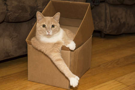 toed: relaxing cute 6 toed kitty in box