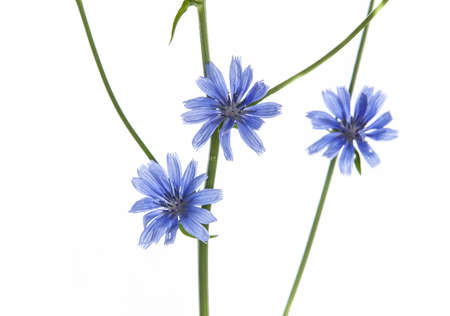 chicory flower: Blue Wild flowers isolated on white