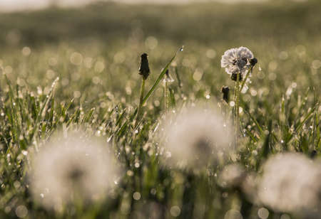 A dandelion seed head with a coating of dew in the morning  photo