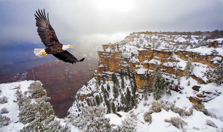 Bald eagle flying above grand canyon photo