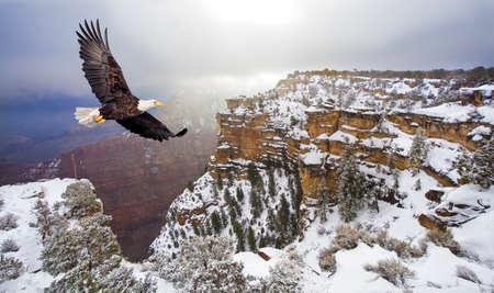 calvo: Águila calva volando por encima del gran cañón