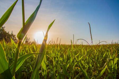 Corn field at sunrise 写真素材