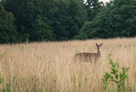 herd deer: Young deer in tall grass field