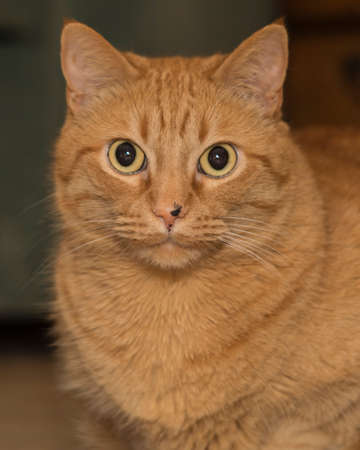 narrow depth of field: fat ginger cat with very narrow depth of field, focus on eyes only