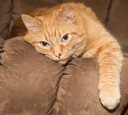 orange cat: Lazy ginger cat resting on brown couch Stock Photo