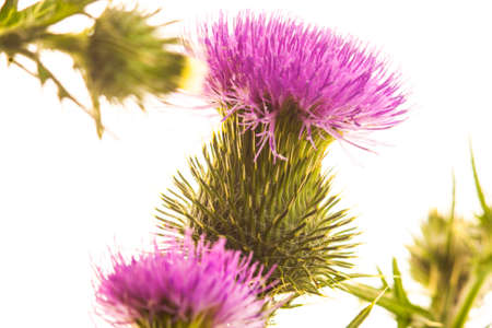 mariano: Milk thistle flower isolated on white Stock Photo