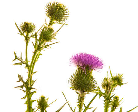 thistle plant: Milk thistle flower isolated on white Stock Photo