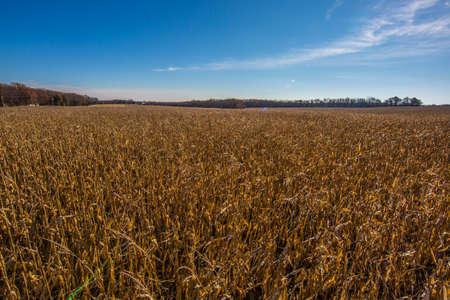 Corn field at sunrise Stock Photo