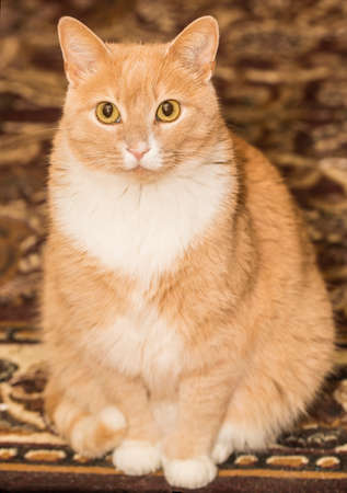 Lovely orange cat looking into the camera