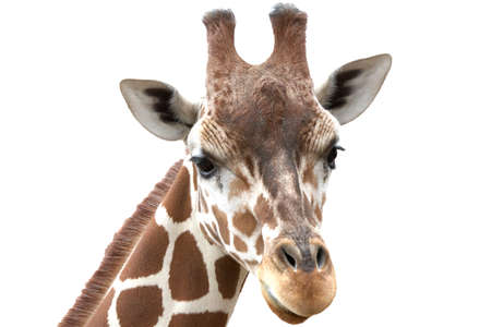 Close up shot of giraffe head isolate on white Stock Photo