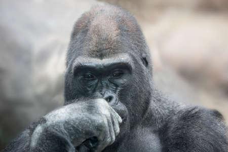 menacing: Portrait of a gorilla male, severe silverback close up.