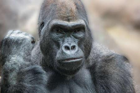 hominid: Portrait of a gorilla male, severe silverback close up.