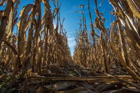 Corn field at sunrise close up