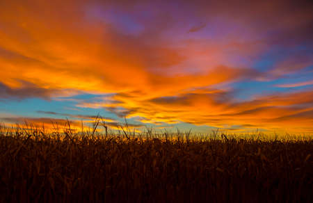 multi colors: Corn field at sunrise with multi colors in the sky