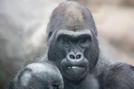 nostrils: Portrait of a gorilla male, severe silverback close up.