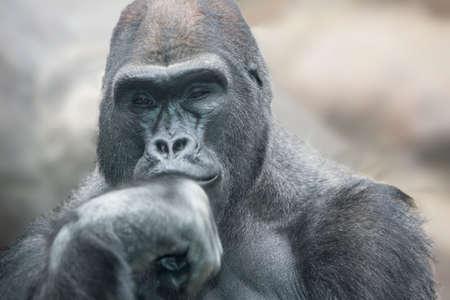 Portrait of a gorilla male, severe silverback close up.