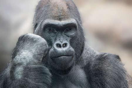 silverback: Portrait of a gorilla male, severe silverback close up.