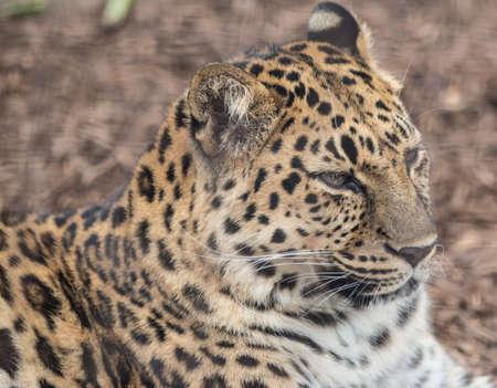 Portrait of a leopard Stock Photo