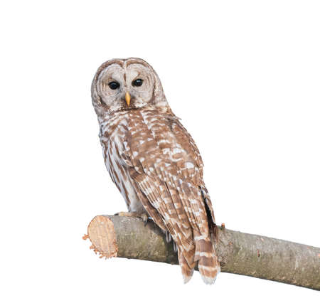 buhos: Strix Owl sentado en un �rbol de pino aislado en blanco Foto de archivo