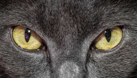 Close-up of gray cat with yellow green eyes Stock Photo