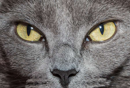 Close-up of gray cat with yellow green eyes Stock Photo - 36114469