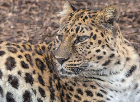 sabie sand: Portrait of a leopard Stock Photo