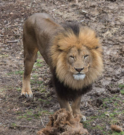 A lion is staring at you Stock Photo