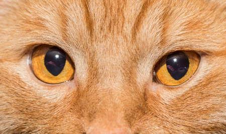 Close-up of Orange cat with orange eyes photo