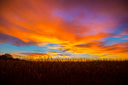 early summer: Corn field at sunrise with multi colors in the sky