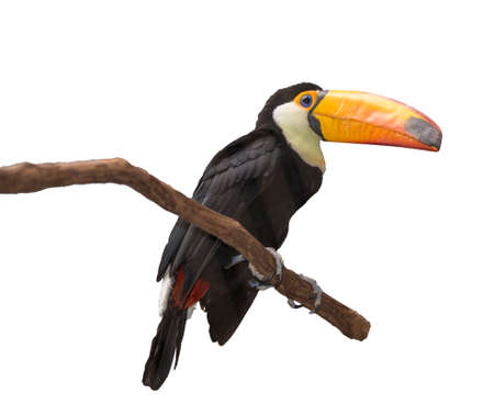 Toucan (Ramphastos toco) sitting on tree branch looking at you isolated on white background photo