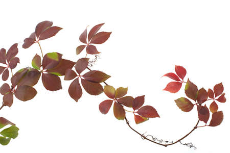 colored autumn leaves layout horizontal, over a white background Stock Photo