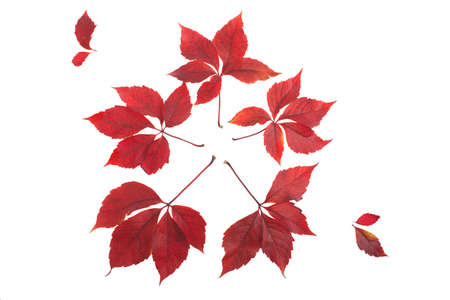 red leaves, star shaped, over a white background Stock Photo