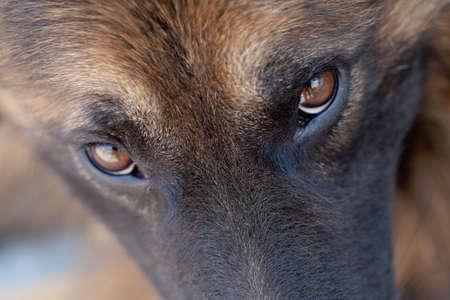 occhi tristi: macro close up di un pastore tedesco a guardare nella fotocamera, ingoiare la profondit� di campo