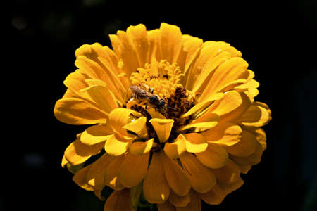 a bee on a yellow flower macro Stock Photo