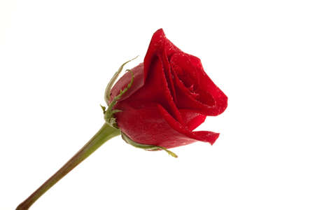 a perfect red rose  with rain drops isolated over white