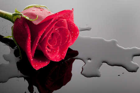 a beautiful red rose on a glossy wet black surfare, silhouette reflected, close up Stock Photo