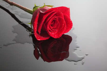rosas negras: una hermosa rosa roja en un brillante surfare negro mojado, silueta reflejada Foto de archivo