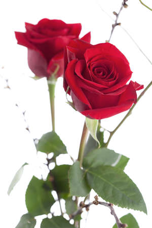 beautiful red roses isolated over white, shallow depht oh field