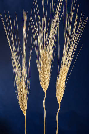 dried wheat over a dark blue  background macro Stock Photo