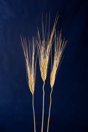 wheat over a darkblue background Stock Photo