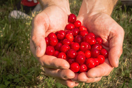 Red cherries in the hands Stock Photo